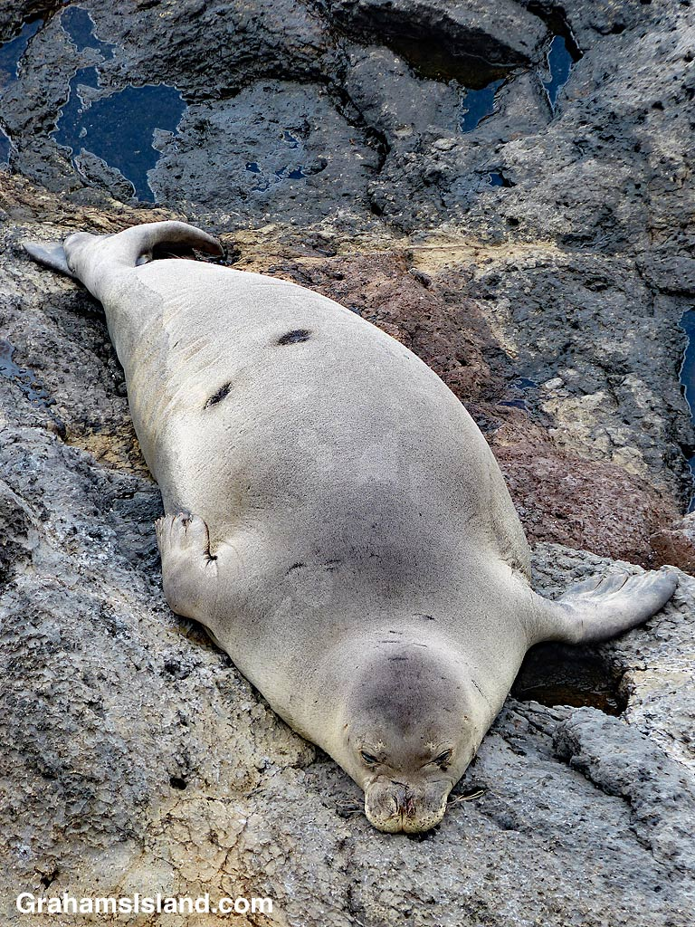 Monk seal with scars