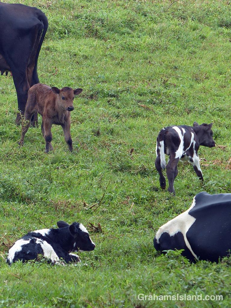 Three new calves
