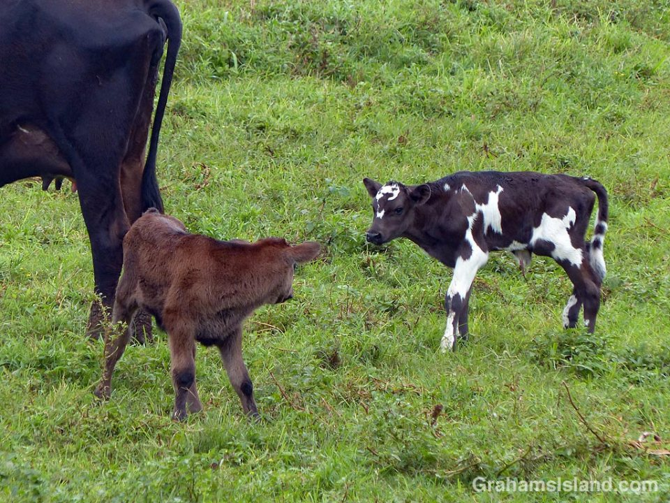 Two new calves