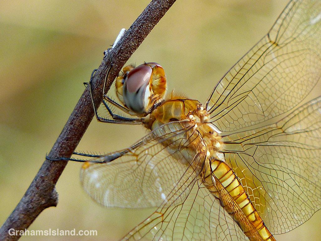 Wandering glider dragonfly on a twig