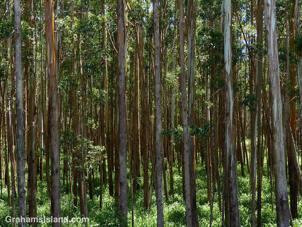 Abstracts-Eucalyptus trees