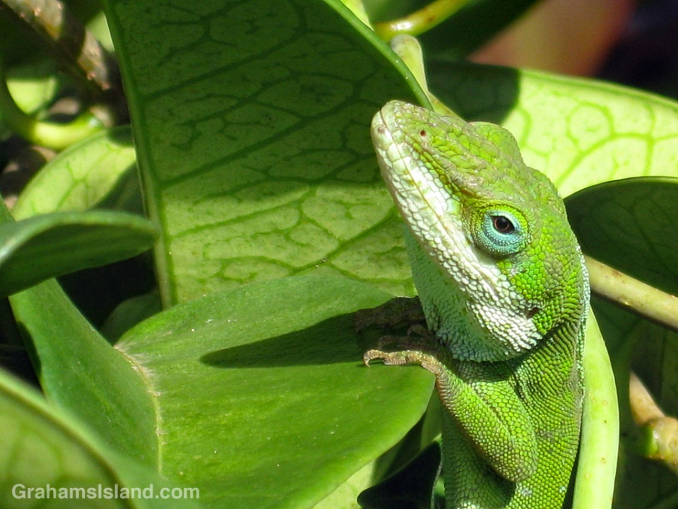 Anole hanging on to leaf