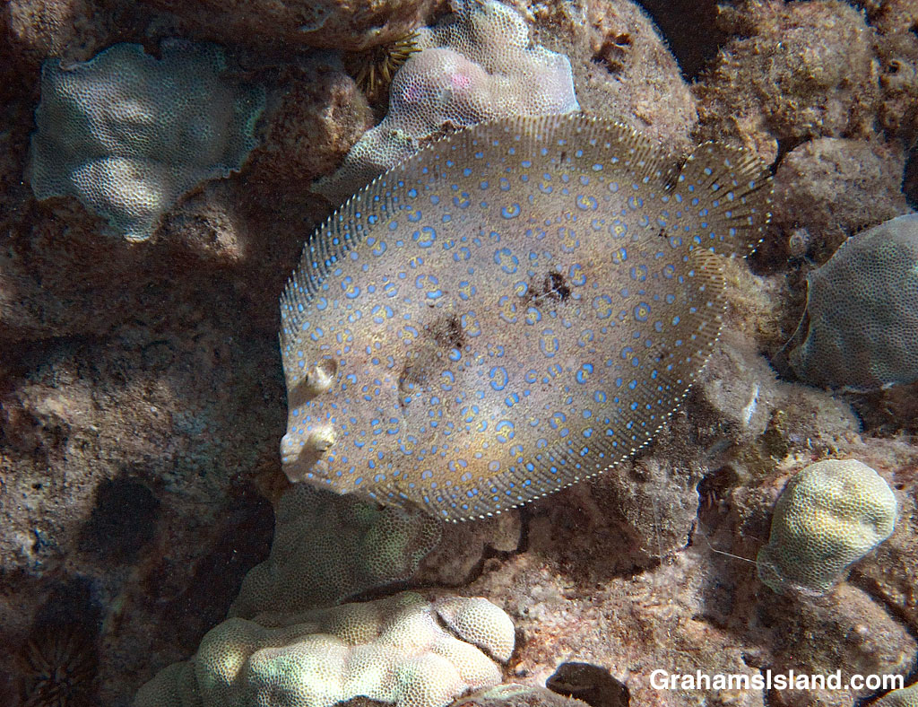 Flowery Flounder and lobe coral
