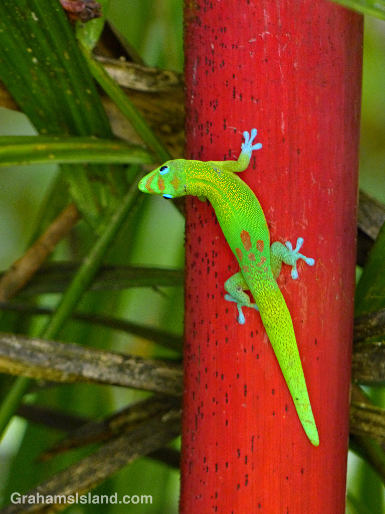 Gecko on red bamboo