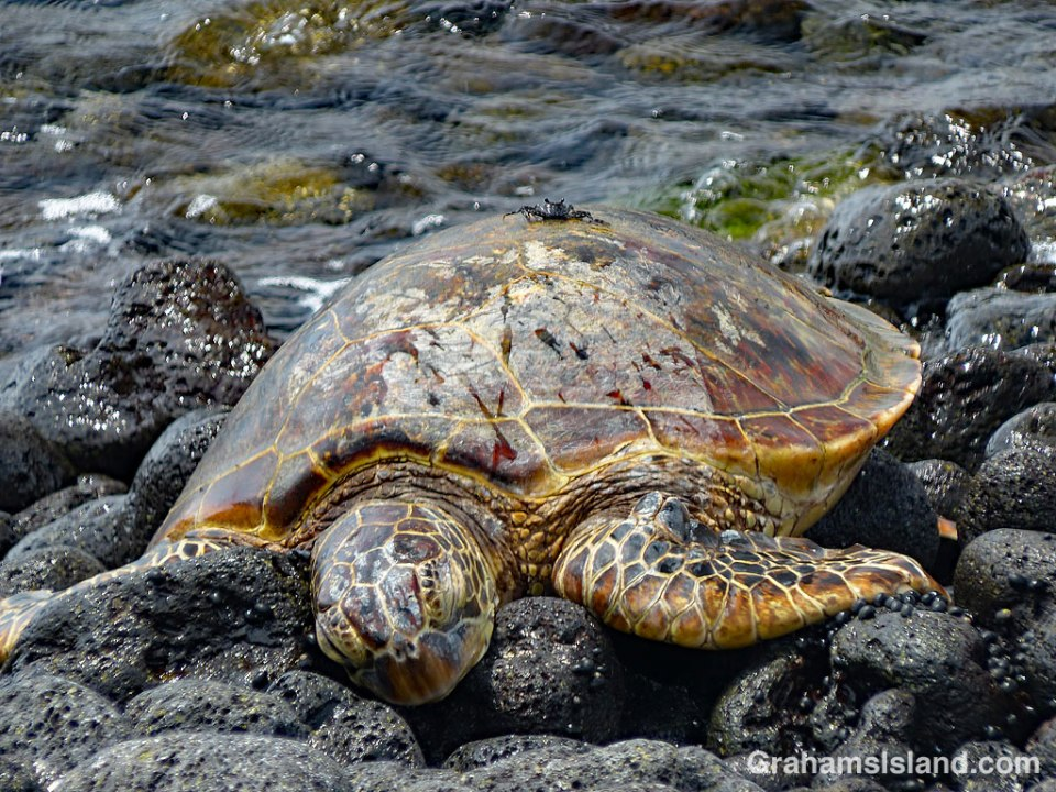 Green turtle and A'ama crab