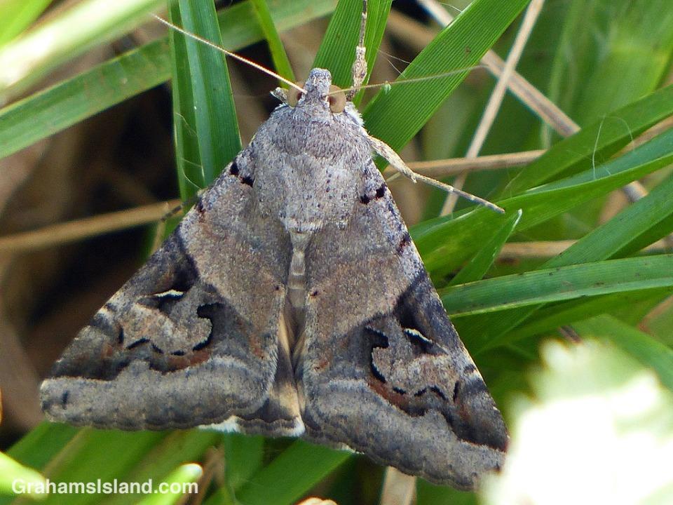 Indomitable Melipotis Moth female