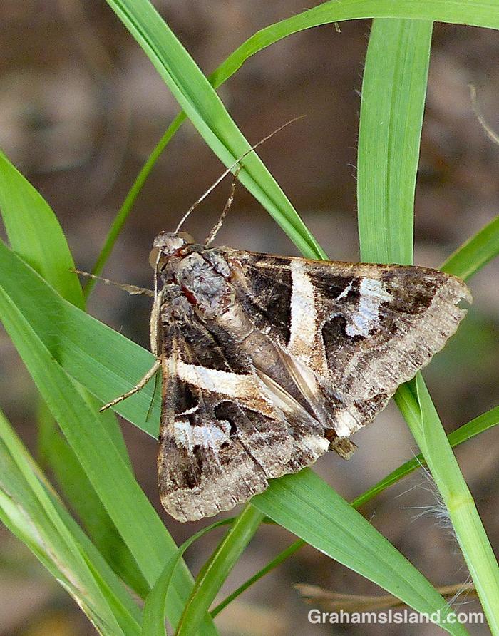 Indomitable Melipotis Moth male (700)