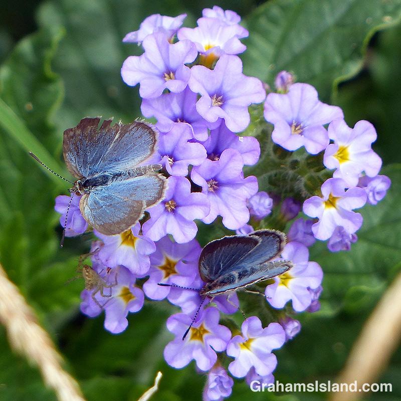 Lesser grass blue butterflies and a spider