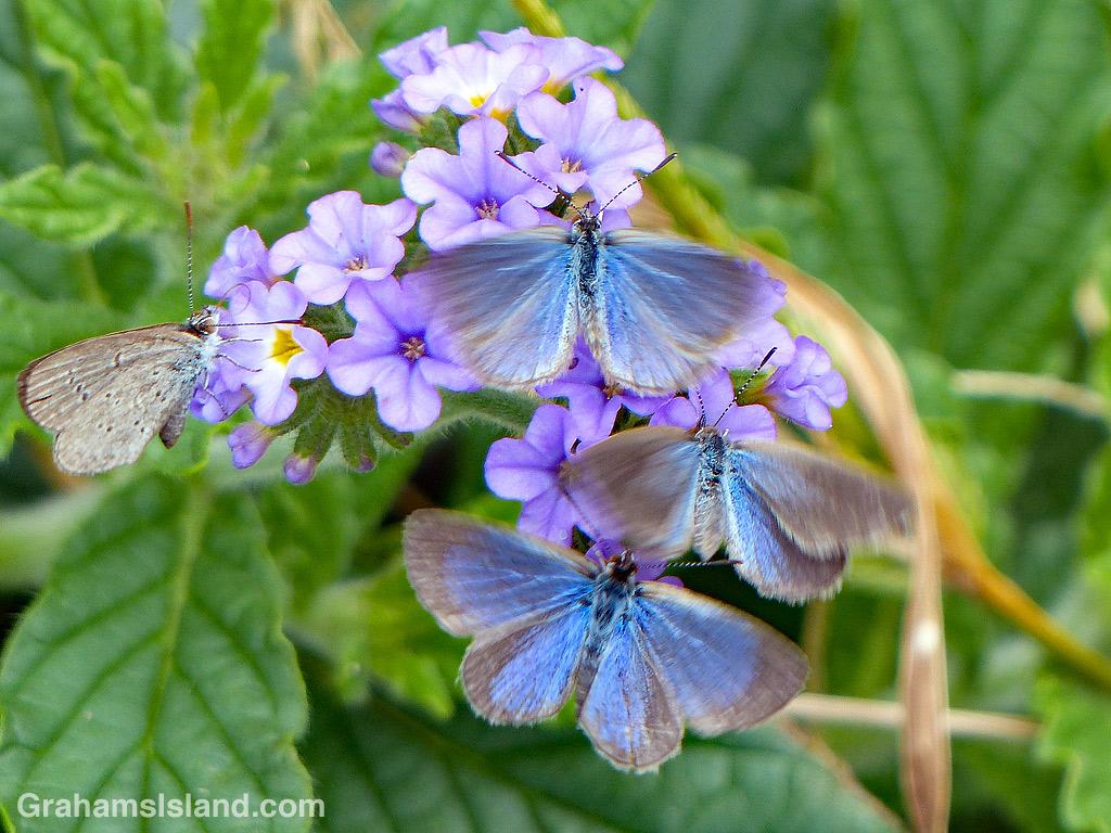 Lesser grass blue butterflies