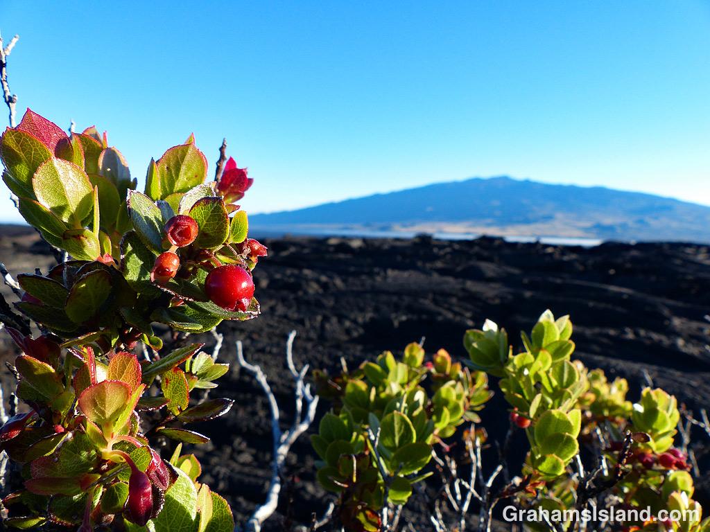 Ohelo 'Ai and Mauna Kea