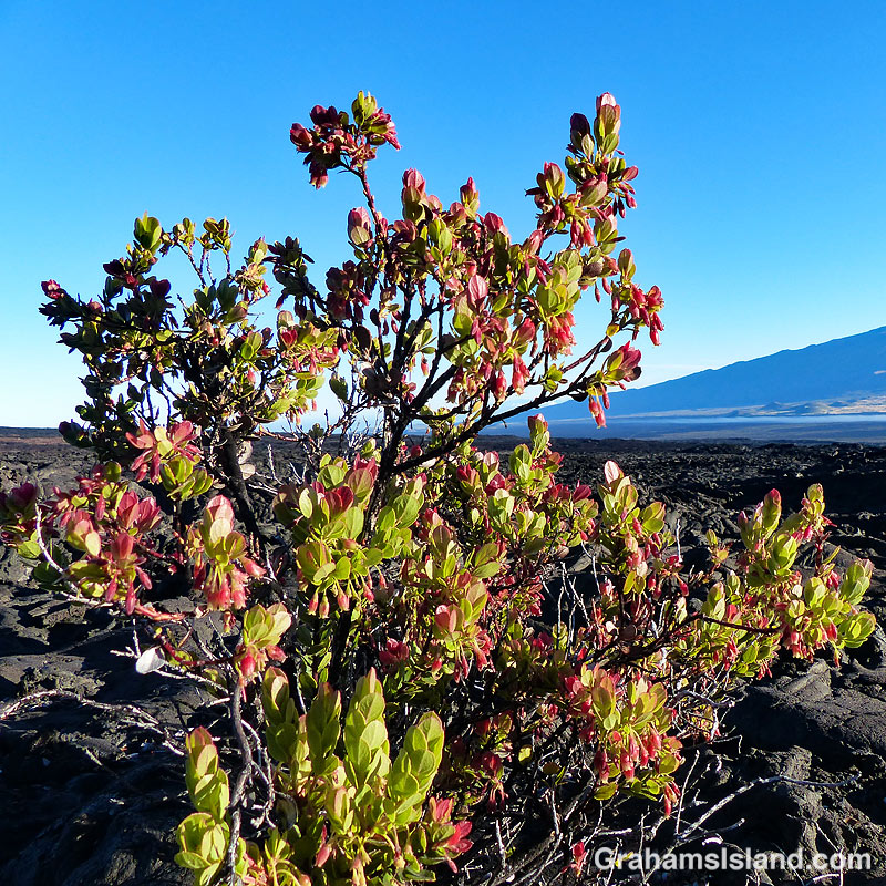 Ohelo 'Ai growing in lava