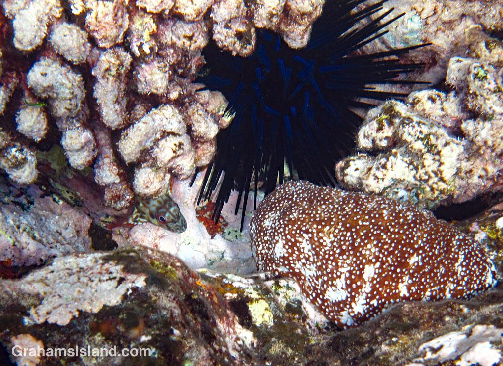 Stocky hawkfish, urchin and sea cucumber