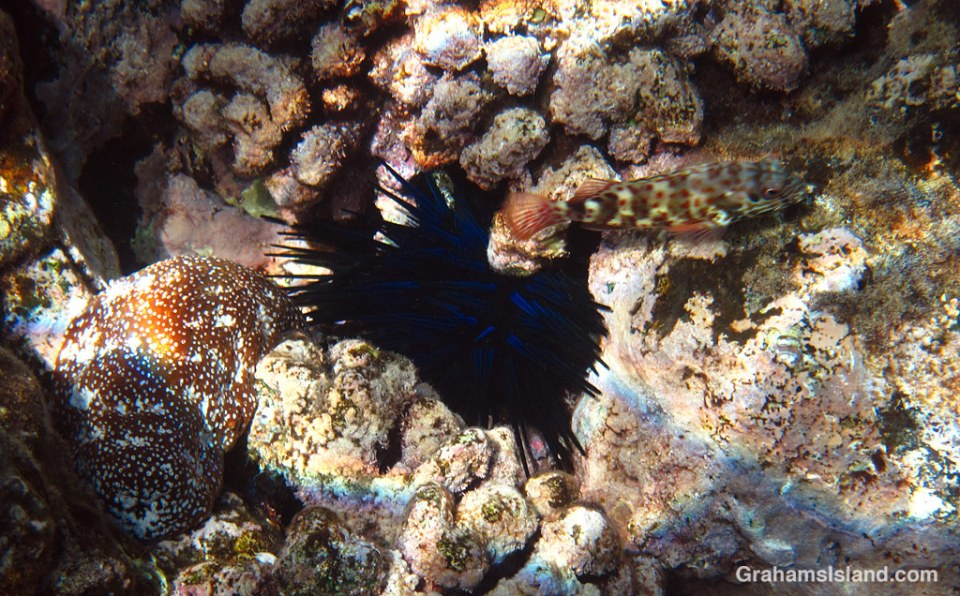 Stocky hawkfish, with urchin and sea cucumber