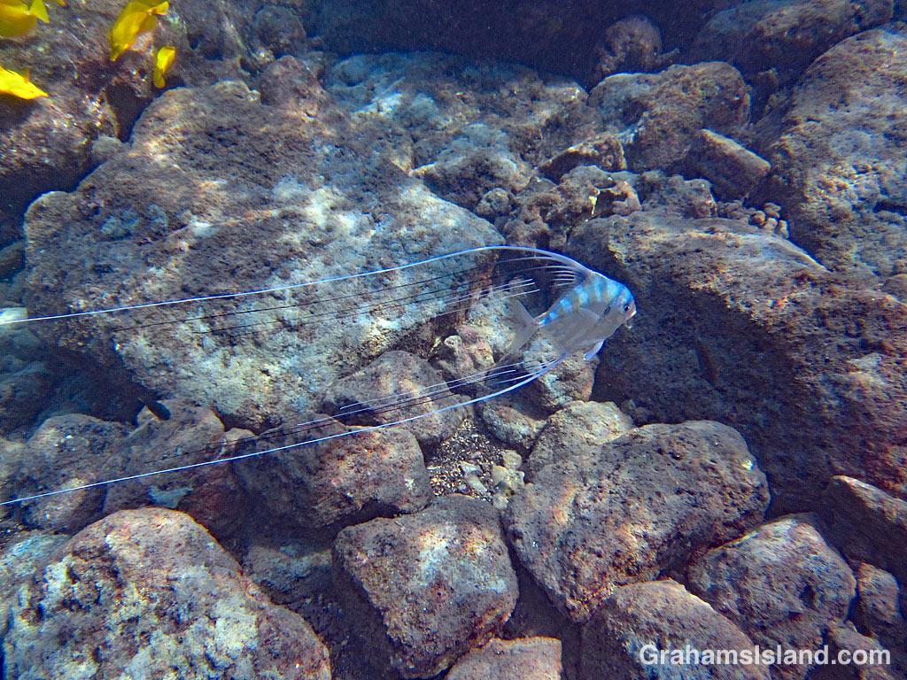 Threadfin Jack juvenile