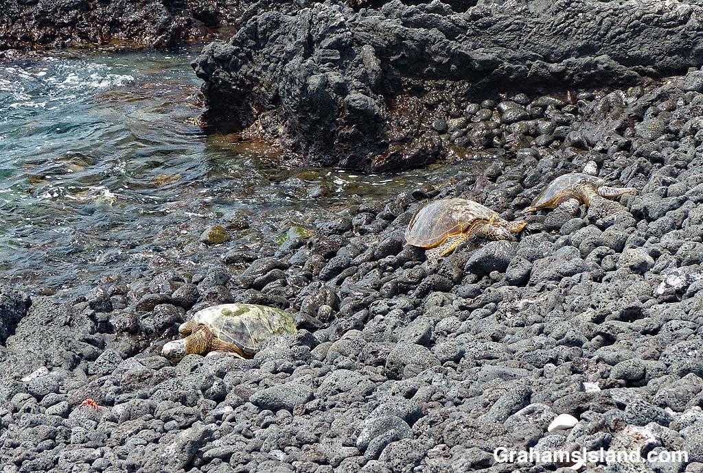 Three green turtles