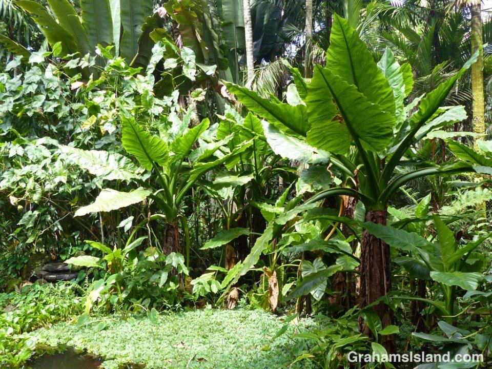 Tropical foliage at Lily Lake
