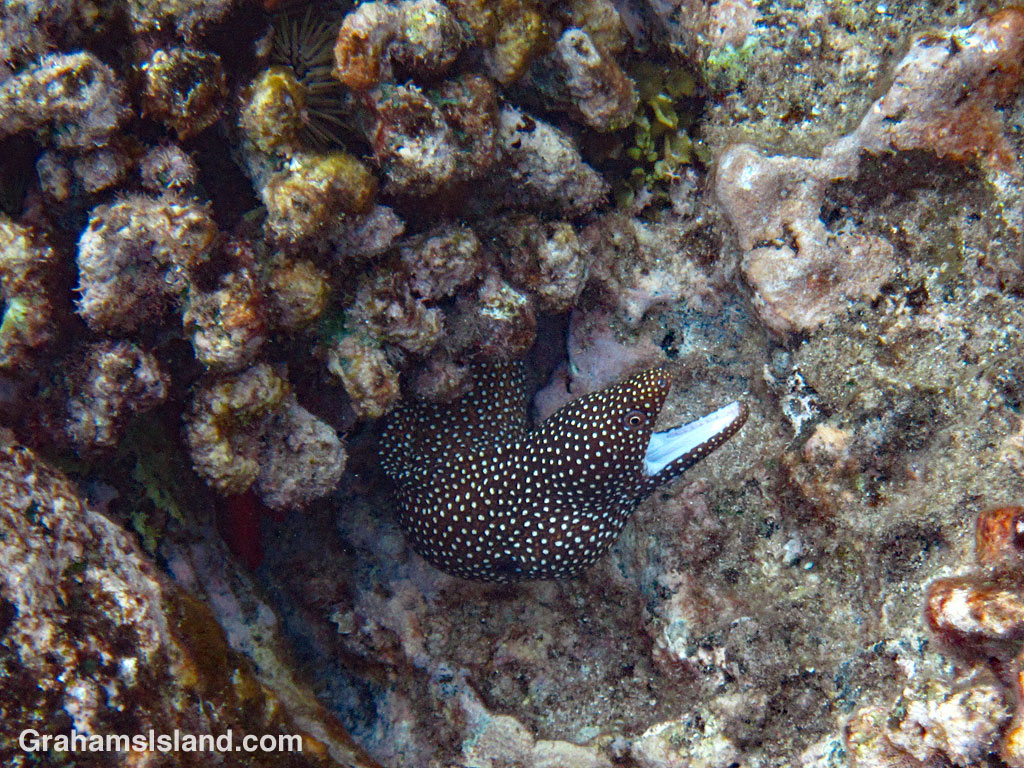 Whitemouth Moray Eel