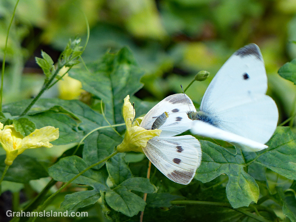 Cabbage Butterfly female and male