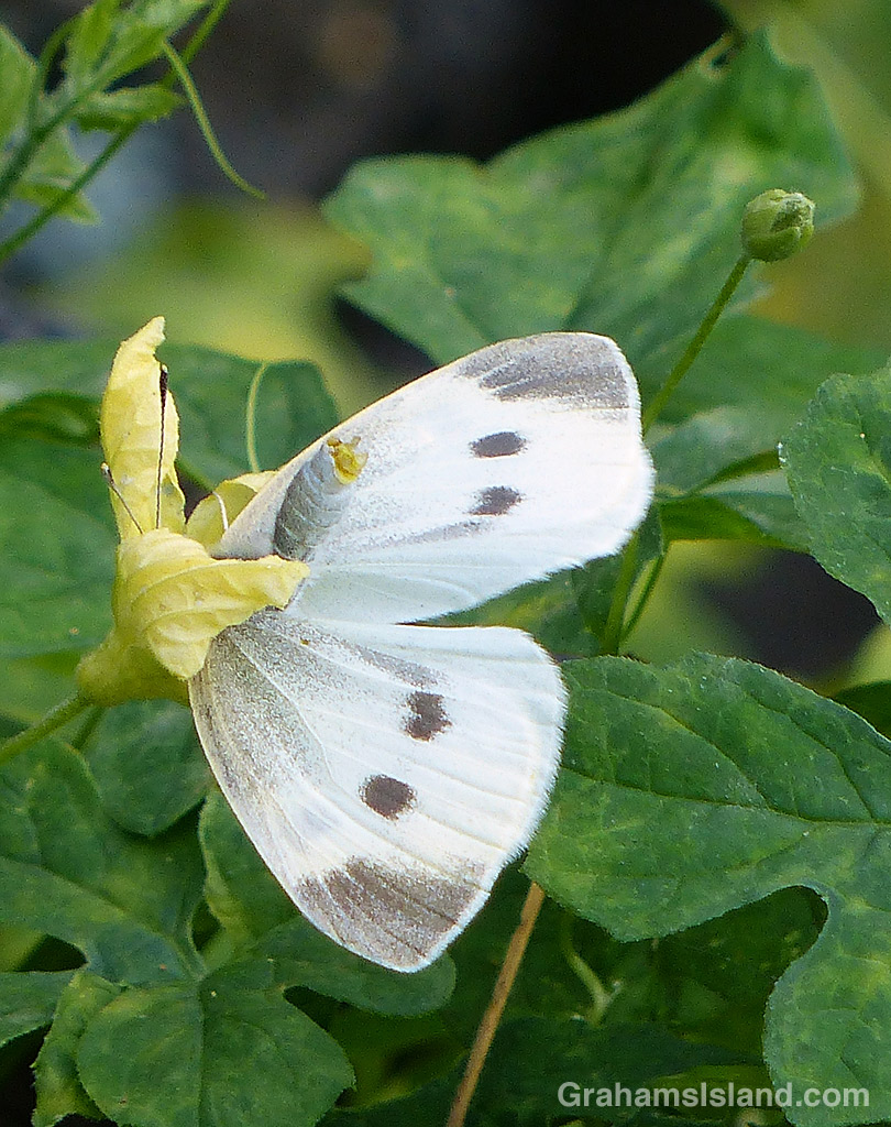 Cabbage Butterfly female