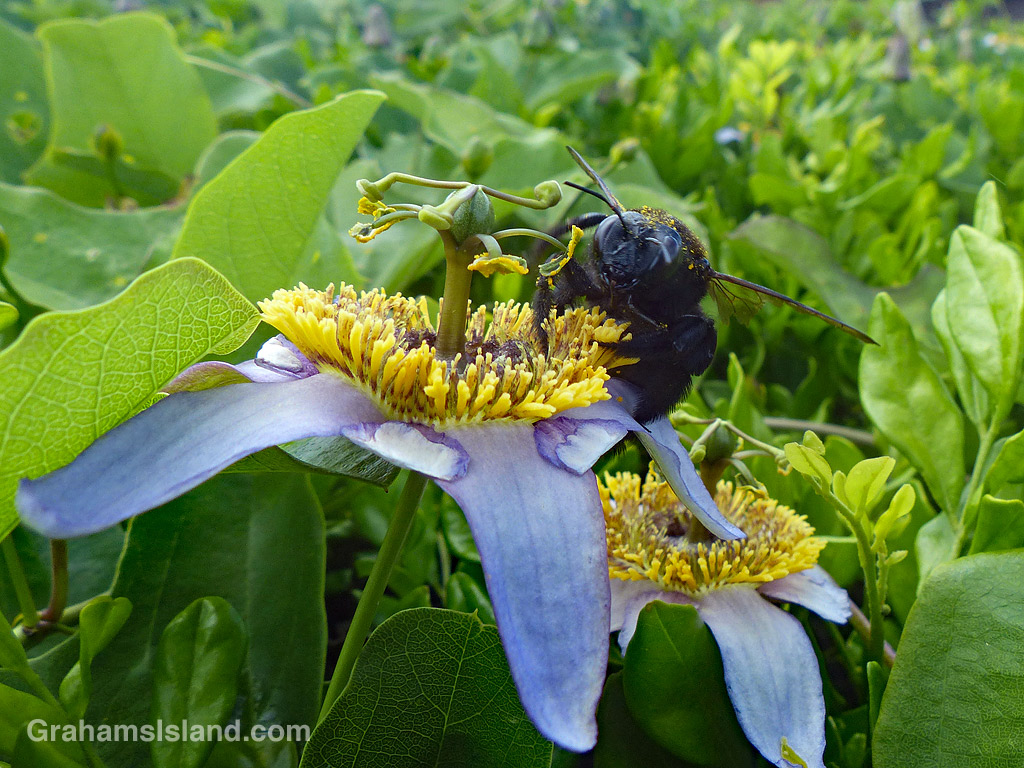 Carpenter Bee female on a passion flower