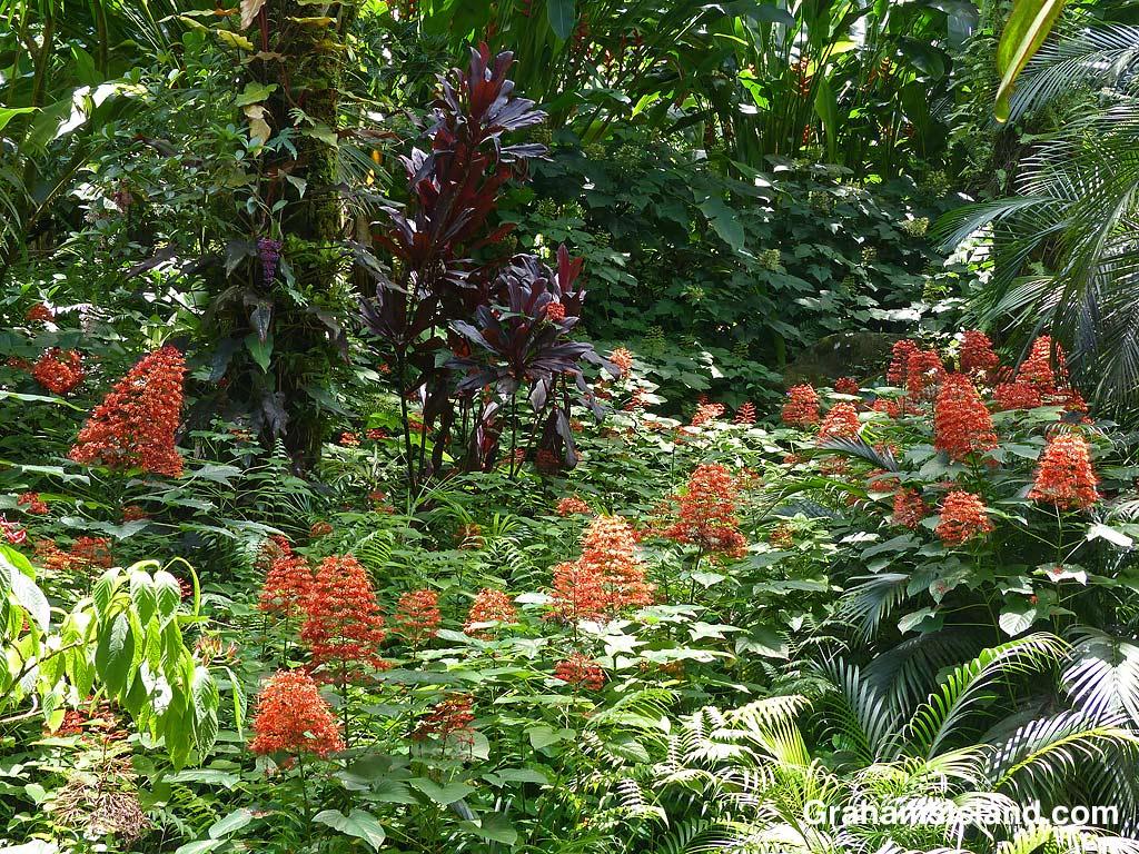 Clerodendrum paniculatum flowers