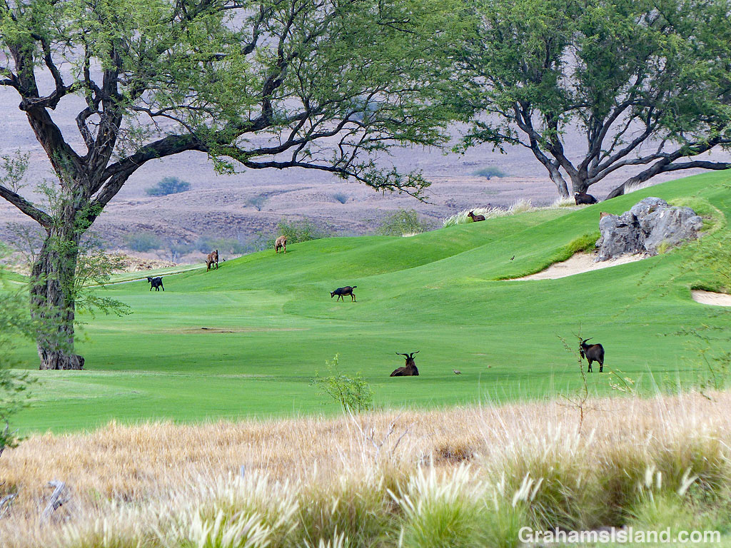 Goats on the fairway