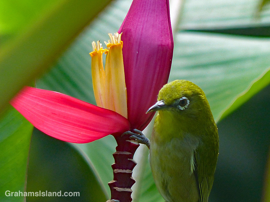 Japanese white-eye on Pink Banana