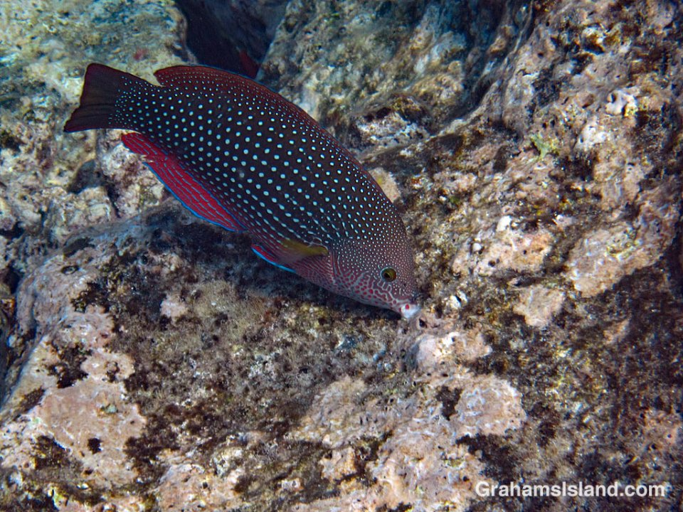 Pearl Wrasse grazing