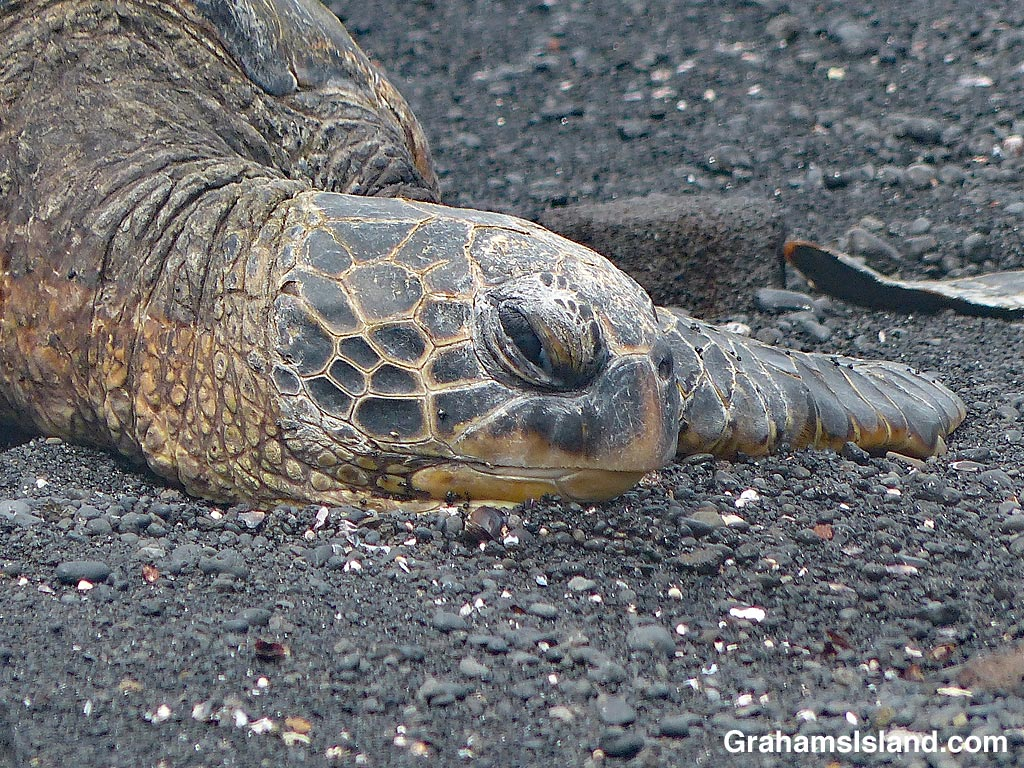 Punaluu turtle resting