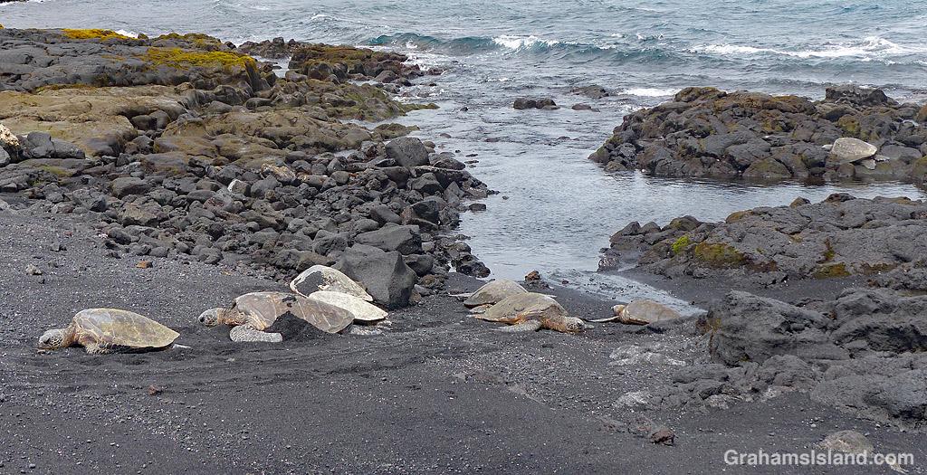 Punaluu turtles resting