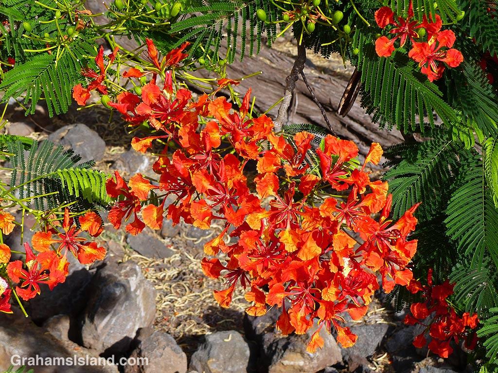 Royal Poinciana flower spray