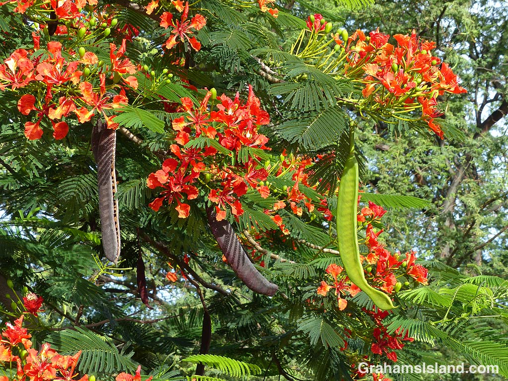 Royal Poinciana seed pods