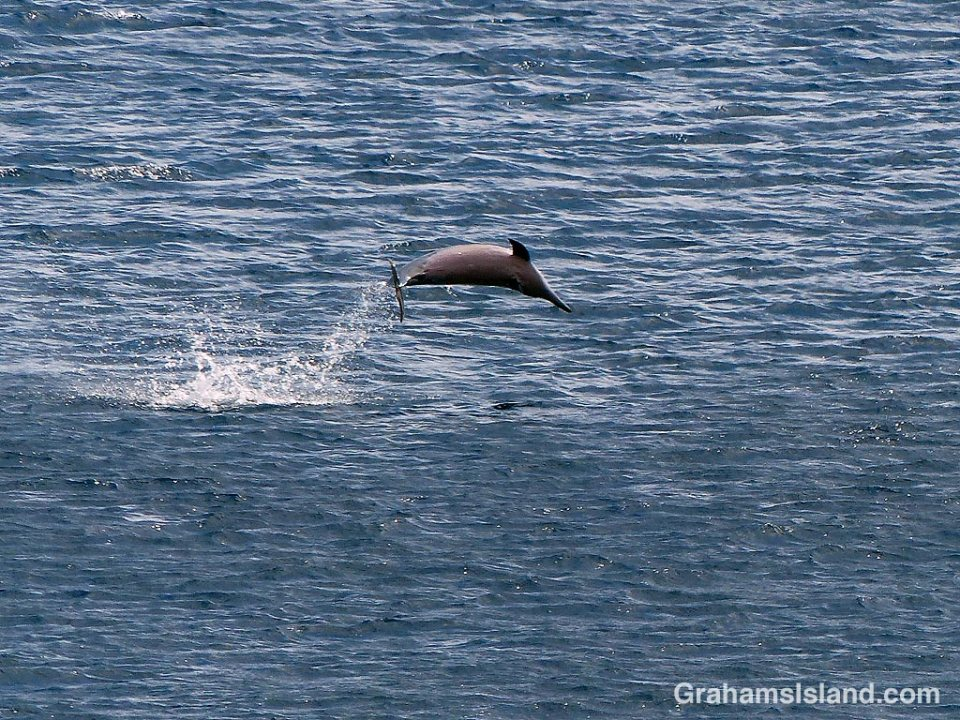 Spinner dolphin leap