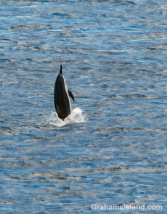 Spinner dolphin leaping