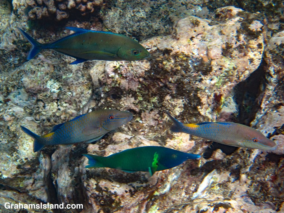 Bird Wrasse, Bluefin Trevally and Blue goatfish