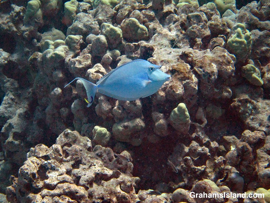 Bluespine Unicornfish and cleaner wrasse