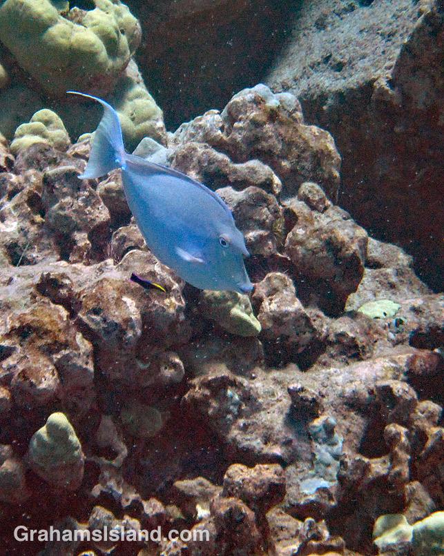 Bluespine Unicornfish being cleaned