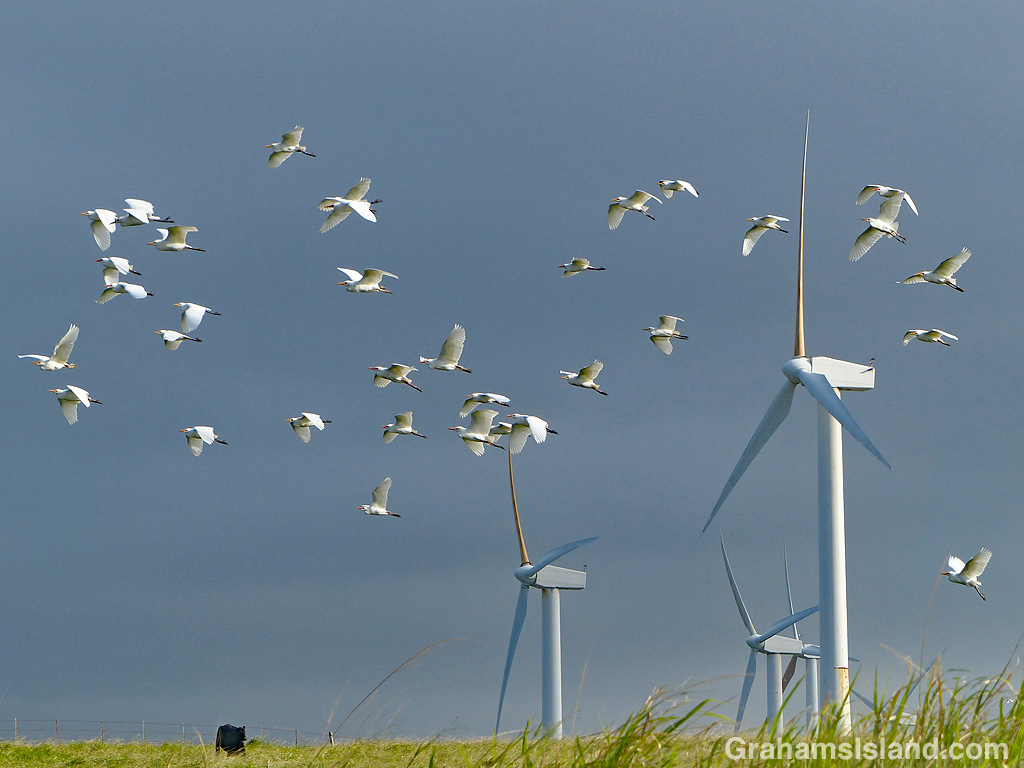 Egrets and turbines