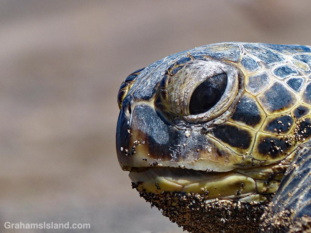 Green Turtle closeup