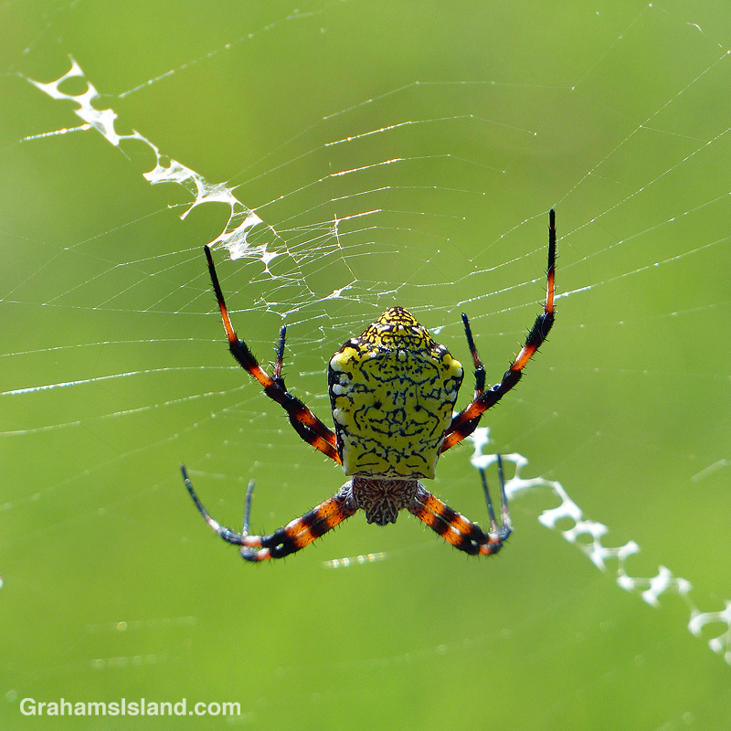 Hawaiian Garden Spider female top view