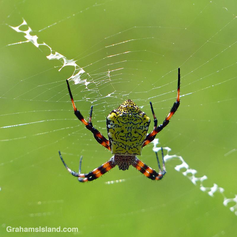 Hawaiian Garden Spider female top view