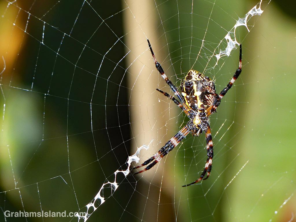 Hawaiian Garden Spider female underside