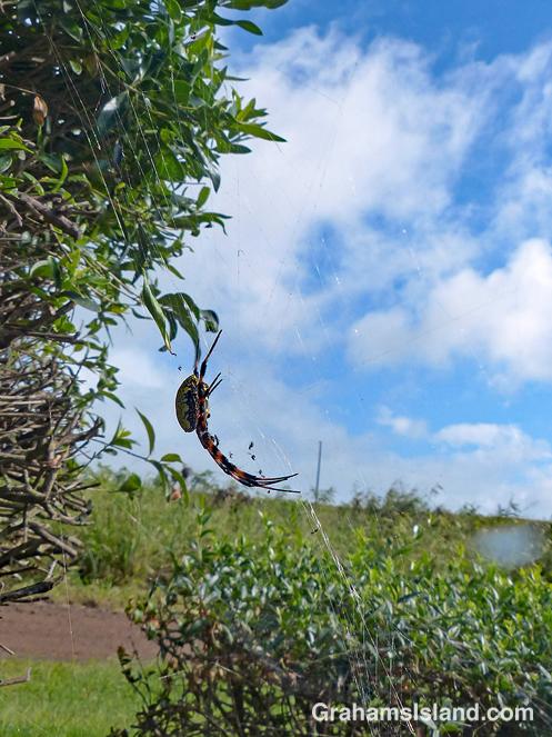 Hawaiian Garden Spider sideview