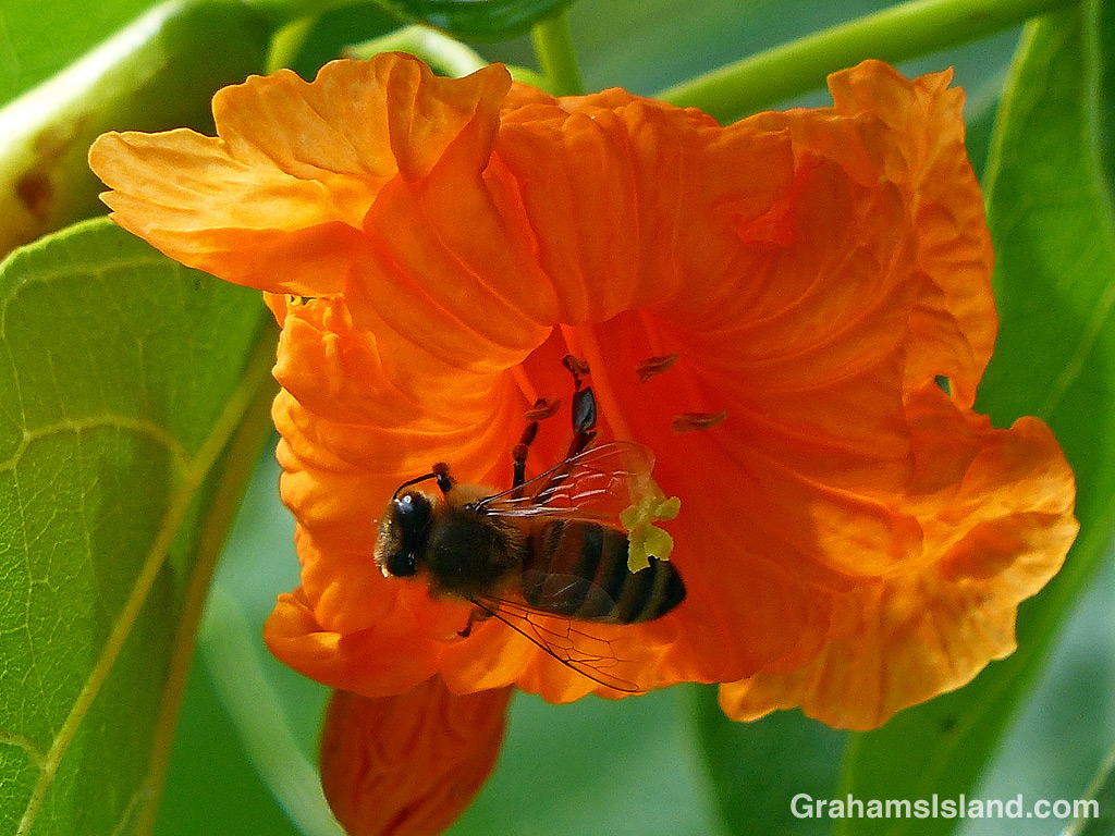 Kou flower and bee