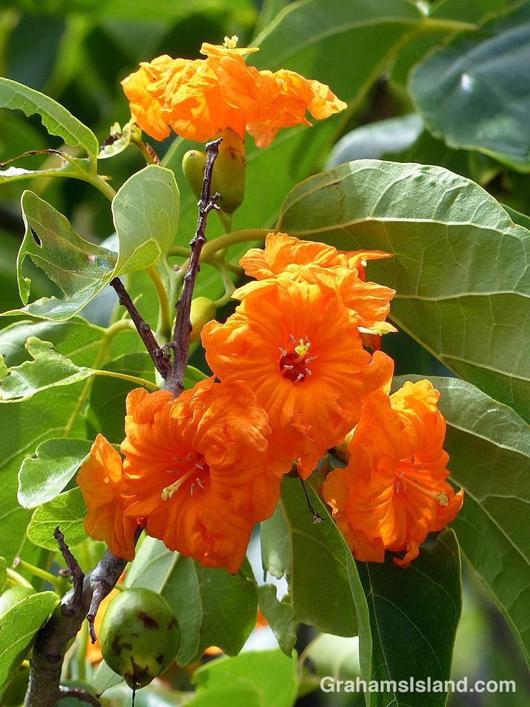 Kou flowers