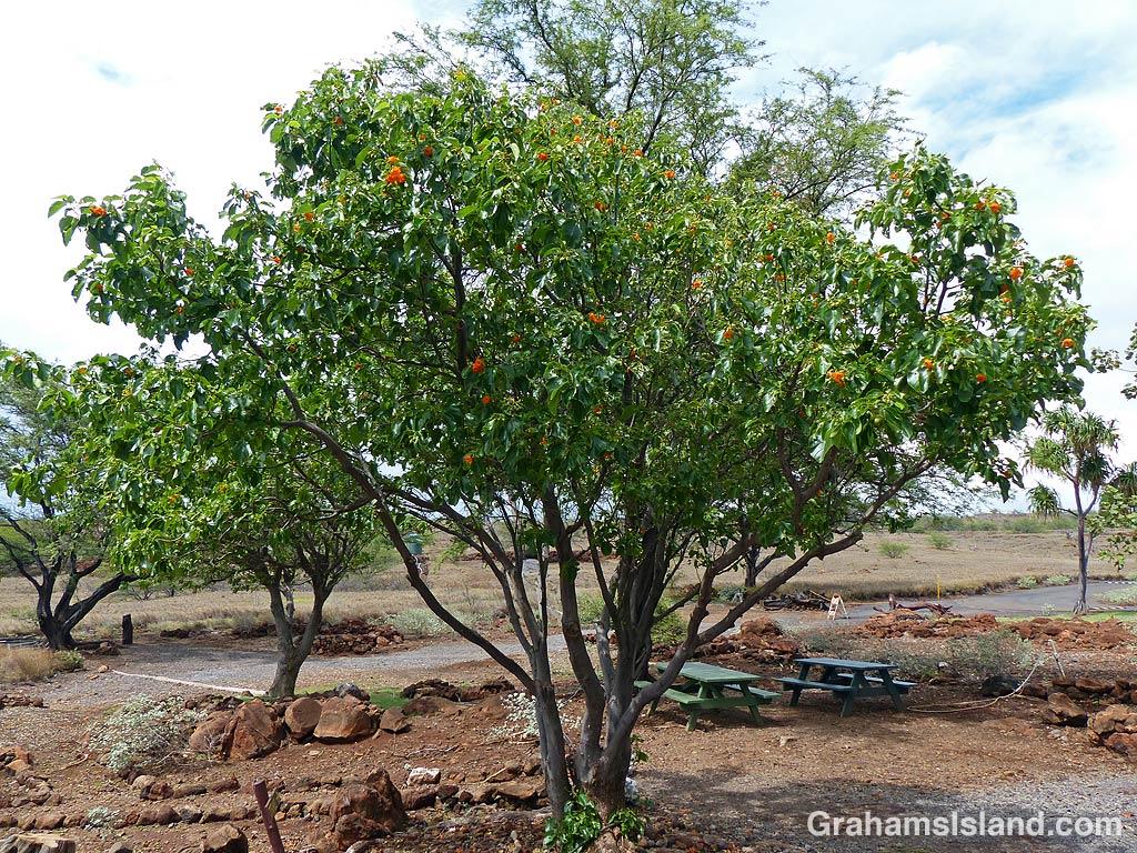 Kou tree