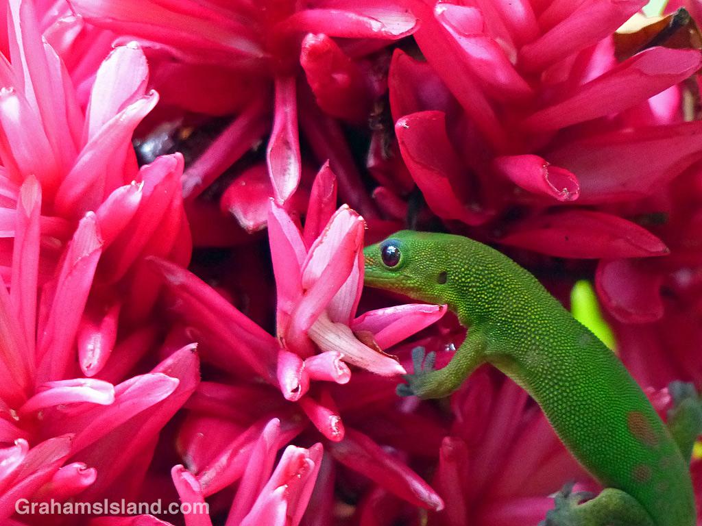 Coqui frog and gecko