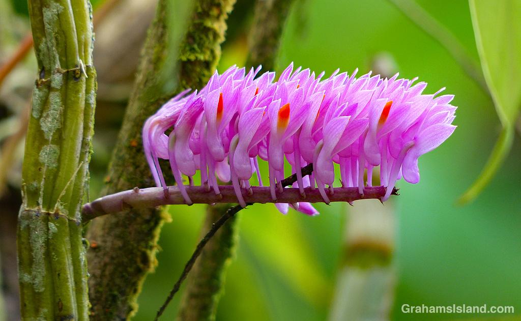 Dendrobium secundum flowers