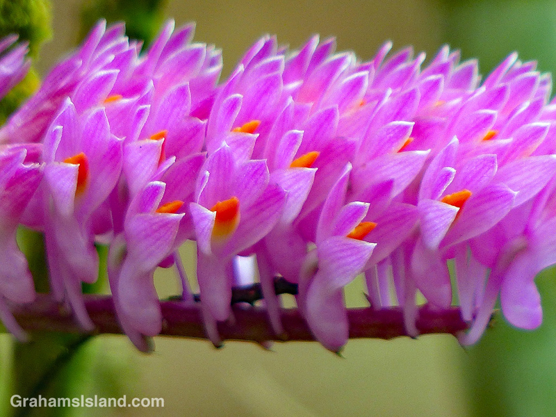 Dendrobium secundum orchid