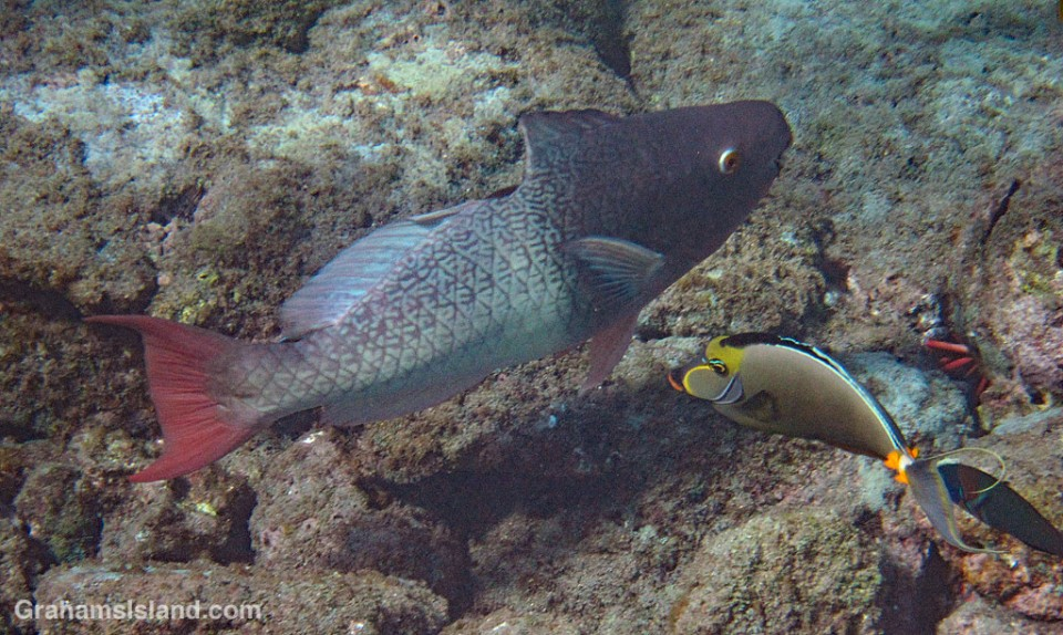 Ember Parrotfish with bite wound